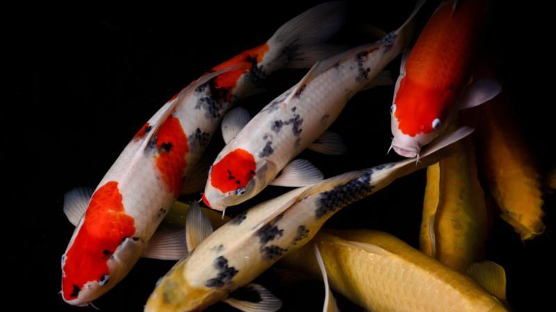 Thế Giới Cá Koi - Cá Koi Nhật