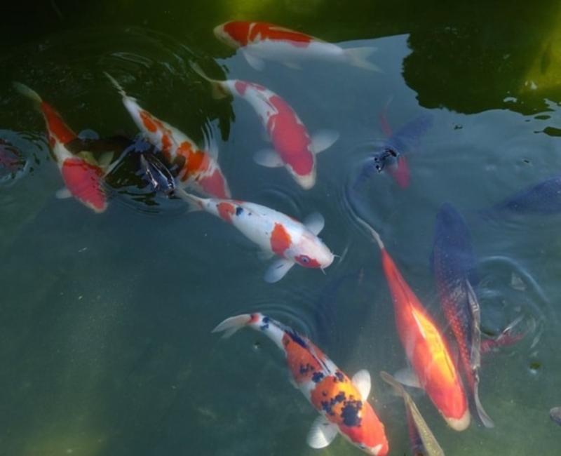 Thế Giới Cá Koi - Nghệ thuật